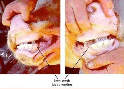 Two photos (side by side) of a 6 tooth animal with four obvious permanent teeth and two more either side just erupting, or breaking, through the gum.