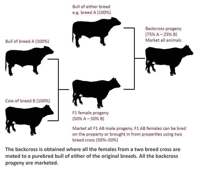 A diagram of a backcross. The backcross is obtained where all the females from a two breed cross are mated to a purebred bull of either of the original breeds. All the backcross progeny are marketed.