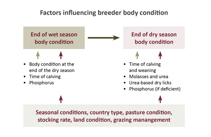 A diagram that illustrates the factors that impact most on 'dry season' body condition, and also those that impact on 'end of wet season' body condition.