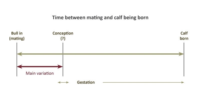 A figure of the measure of 'days to calving' (DC). That is, the time between mating and calf being born.