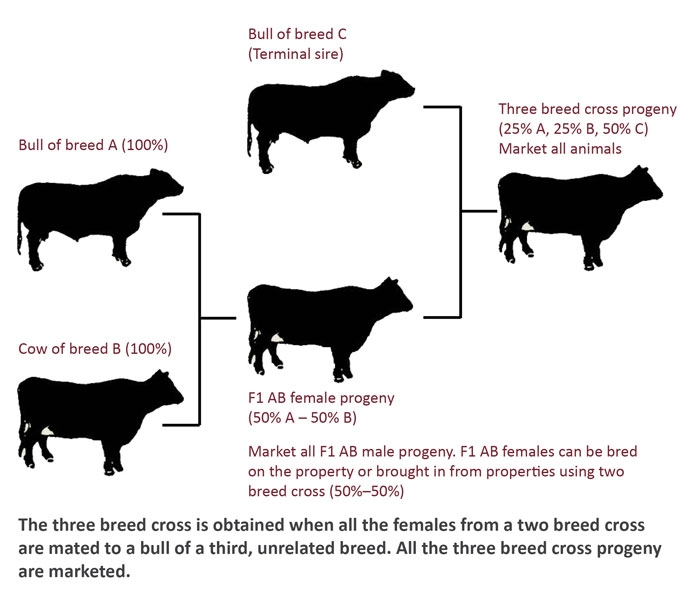 A diagram of a three breed cross. The three breed cross is obtained when all the females from a two breed cross are mated to a bull of a third, unrelated breed. All the three breed cross progeny are marketed.