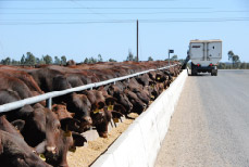 Photo of cattle eating out of trough in feedlot.
