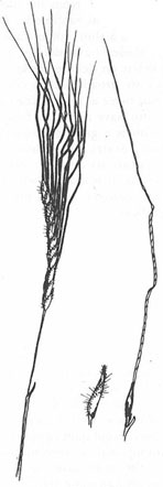 A black and white line drawing of a black speargrass seed head.