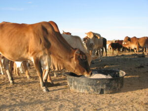 Cows at lick trough