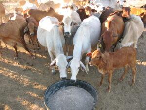 Cows at a lick trough