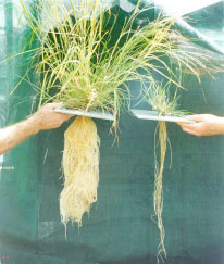 Photo of two black speargrass plants and their roots. The leaves of the two plants have been clipped at different frequencies to mimic the impacts of light versus heavy grazing.