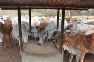 Bos indicus animals consuming loose lick out of a covered lick trough, likely to improve beef business performance
