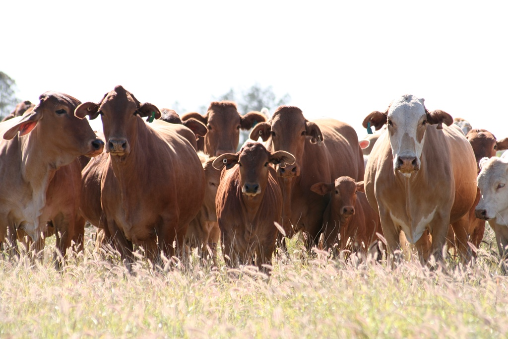 Fat cattle standing in improved pasture