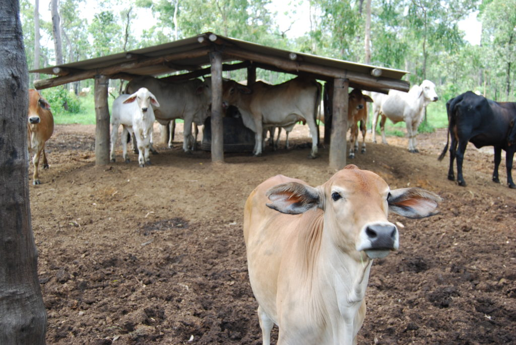 Cattle under covered lick shed