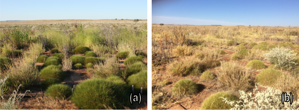 The introduced species in photo (a) are vibrant green immediately post wet season of 2017 (b) the introduced species in August of the same year are severely dehydrated where the native species are demonstrating better survivability.
