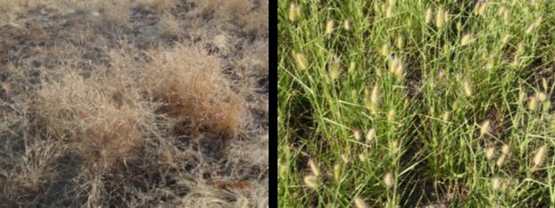Asbestos grass.