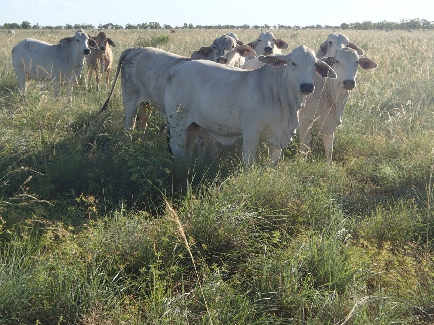 Brahman heifers in forward store condition standing in a paddock of dense Mitchell grass pastures after a wet season spell.