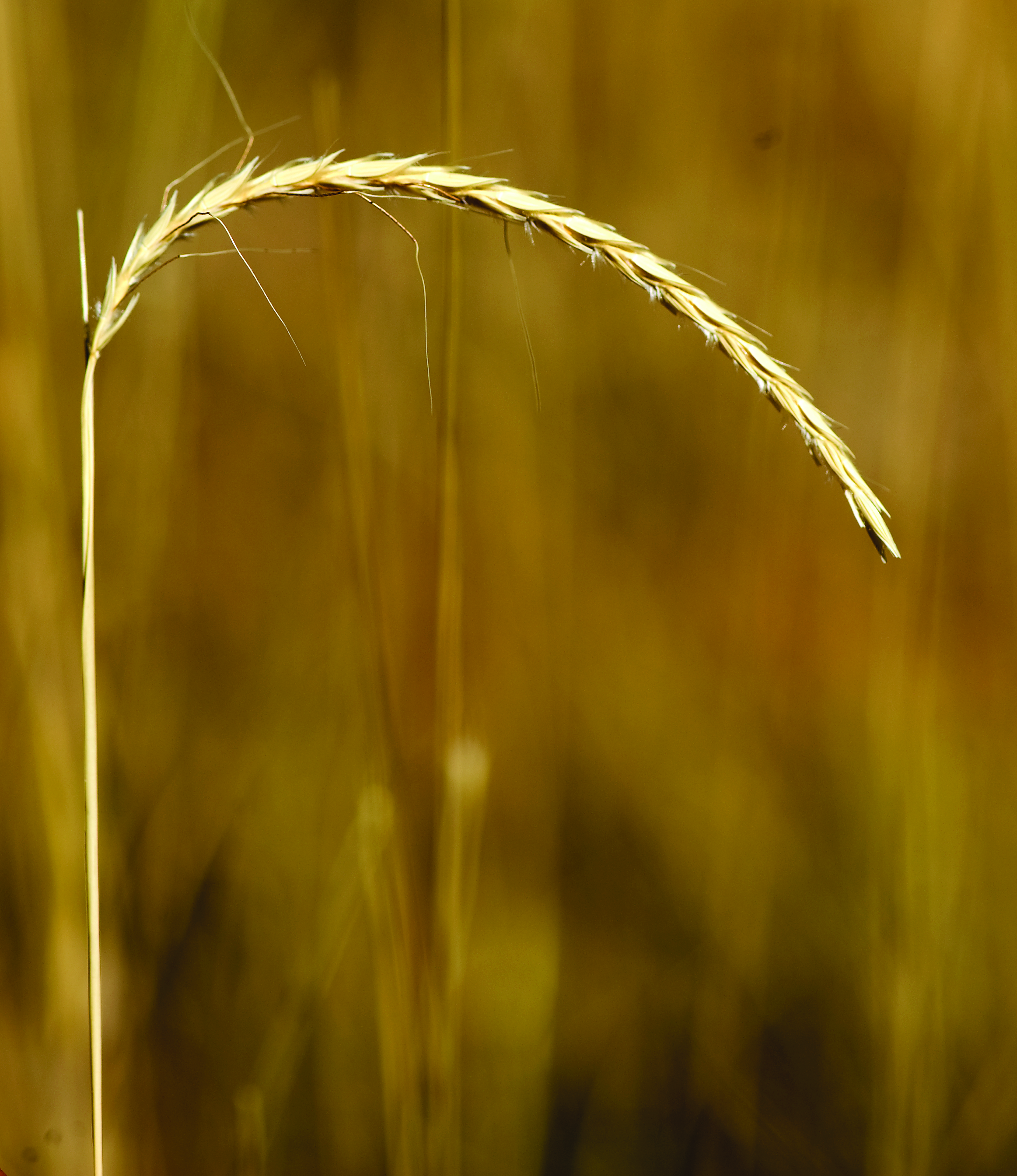 The seed head of white grass is cylindrical with awns protruding from each seed.