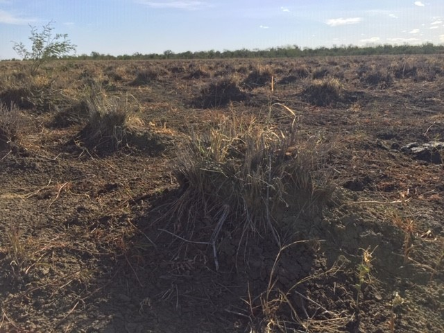 A Mitchell grass tussock with few green leaves. Very few Flinders grass plants in between tussocks.