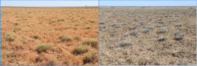 Left: a healthy Mitchell grass pasture; right: a broken Mitchell grass pasture