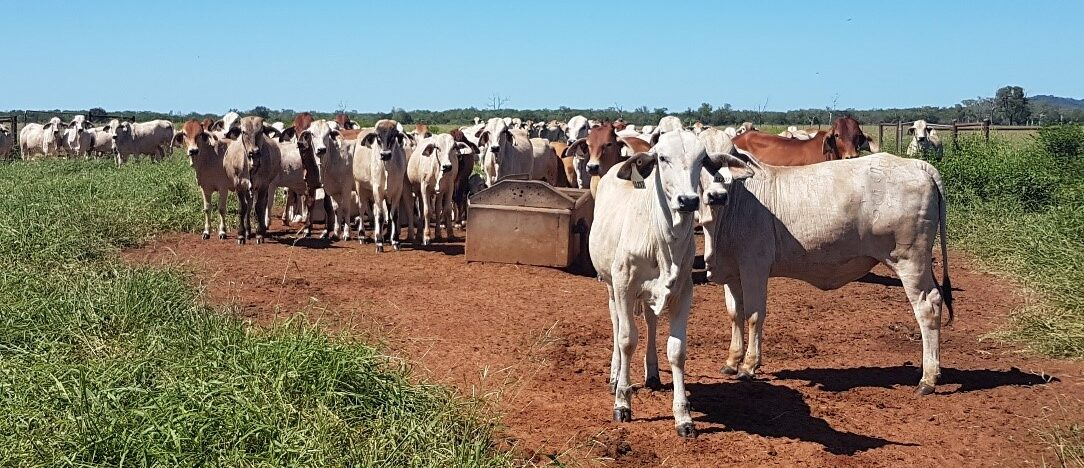 A mob of young heifers stand around a trough in a healthy pasture.