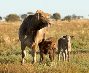 Brahaman cross calves