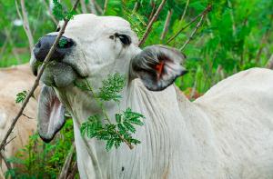 cow eating leucaena
