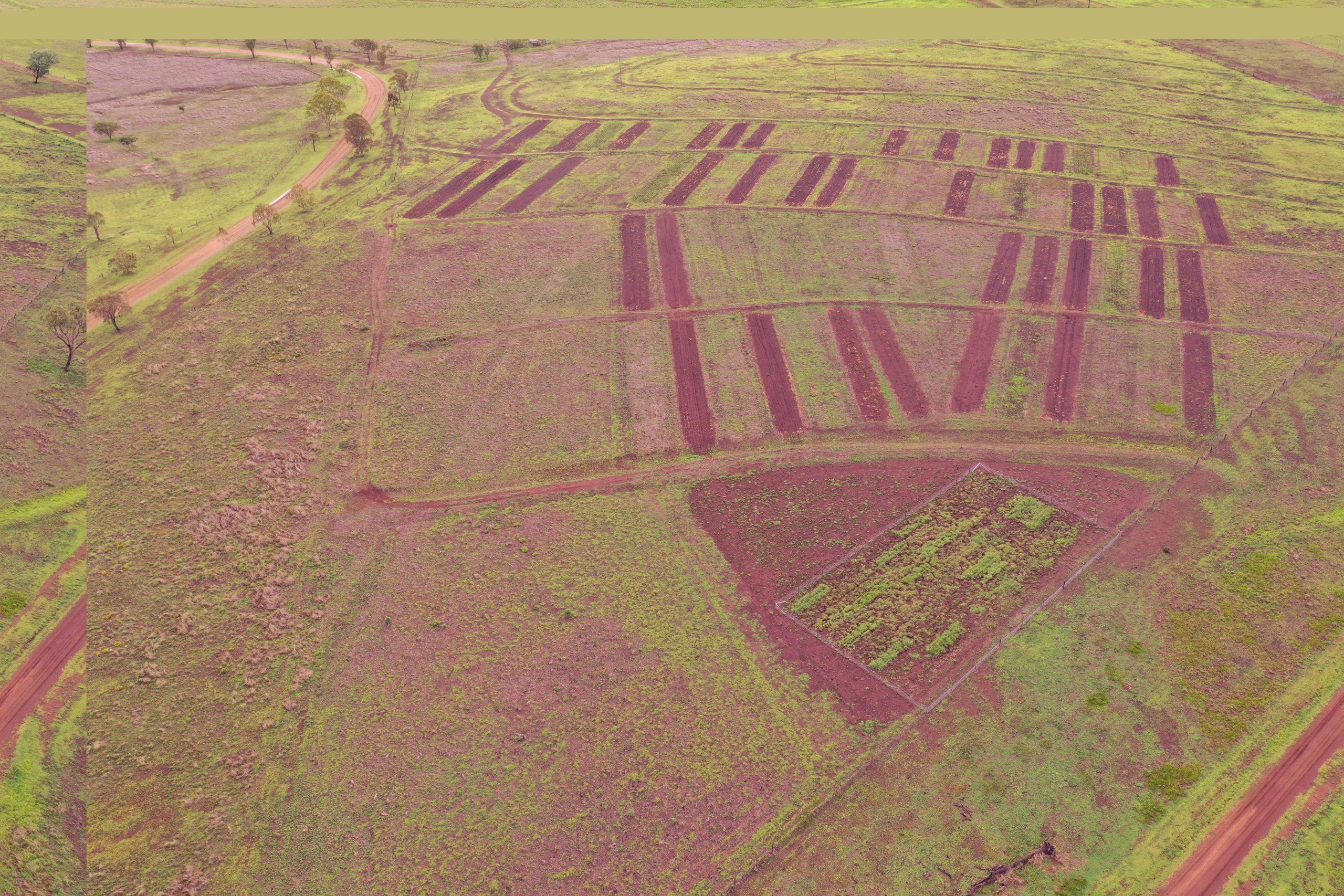 Pasture dieback species trial at Brian Pastures, Gayndah