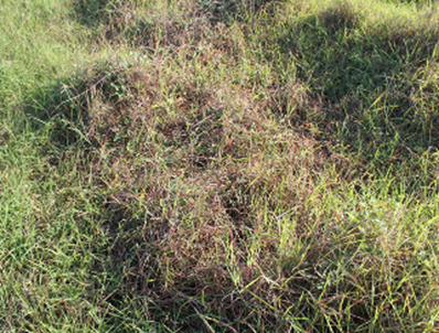 Tips of grass leaves are discoloured while surrounding plants are unaffected