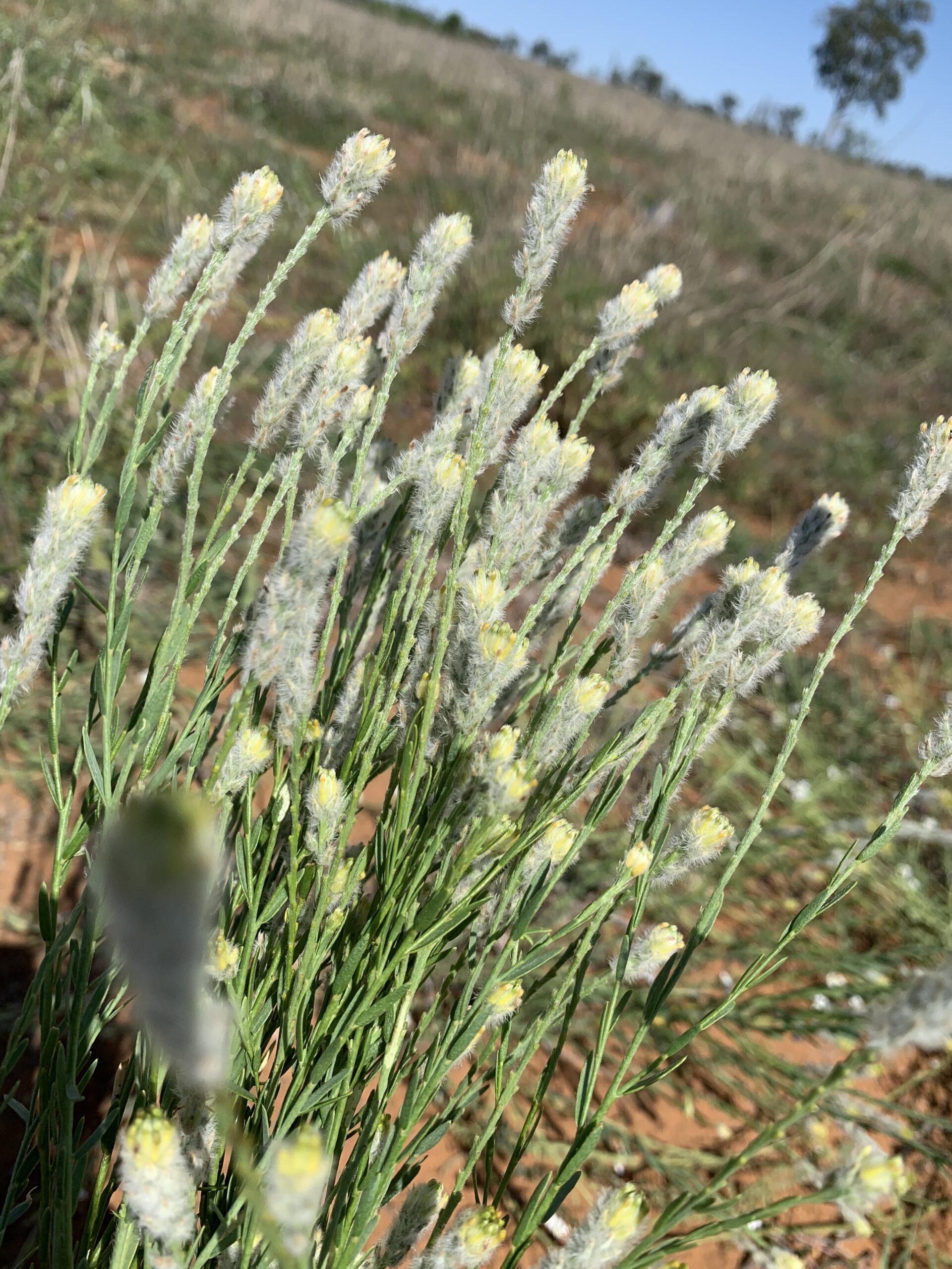 Pimelea flowers