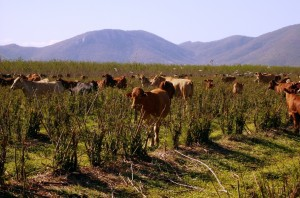 Cattle grazing leucaena